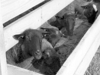 На овцеферме ООО «Колос» Рябовского сельского поселения новоселье отметила первая партия племенных овец романовской породы.